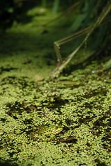 Semana 50: Moda (la mimi y su cangrejo) Tags: verde green d50 moda estanque rana grenuille 52semanas vertnikon mimiysucangrejo familiafotera