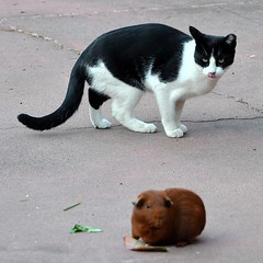 Playtime on the Patio 2 (JohnCramerPhotography) Tags: pet tongue fauna cat guineapig lips patio hungry licking