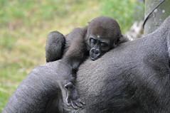 Young Western Lowland Gorilla (Truus & Zoo) Tags: netherlands animals zoo rotterdam blijdorp nederland dierentuin westernlowlandgorilla criticallyendangered gorillagorillagorilla westelijkelaaglandgorilla