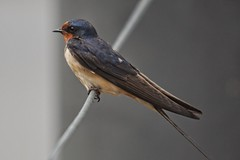 Barn Swallow (Eric E Haas) Tags: birds maryland barnswallows havredegrace hirundorustica sigma100300mmf4