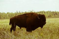 IMG_0841 (mikez3d) Tags: resort manitoba bison elkhorn