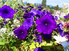 flowers plants purple petunias