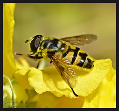 Yellow! (jenniemay2011) Tags: yellow nikon insects flies hoverfly pollinator d5100 jenniemay