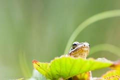 _MG_0381 (Den Boma Files) Tags: fauna dieren kikker amfibieen stropersbos