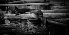 seal (kibbbo) Tags: sleeping bw white black animal eos seal schlafend lying planks efs tiergarten nrnberg wodden seehund 55250mm 1000d