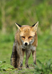 Juvenile red fox vixen - Explored - (Wouter's Wildlife Photography) Tags: nature mammal wildlife predator vixen vos redfox vulpesvulpes roofdier zoogdier westduinpark moervos exploreseptember29th2012