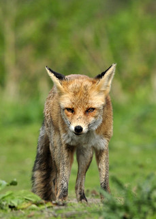 Juvenile red fox vixen