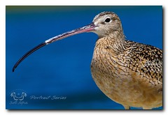 Long-billed Curlew (Nature Photos by Scott) Tags: ocean park blue wild portrait sky bird beach nature water birds surf florida wildlife birding shore series rare curlew longbilledcurlew shorebirds shorebird ftdesoto portraitseries scotthelfrich scotthelfrichphotography dailynaturetnc12