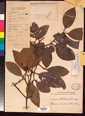 plants asia philippines botany specimens guttiferae garcinia cambogia venulosa filibot venul~