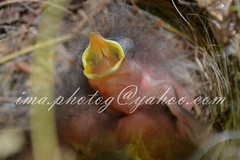 baby bird in nest (ima.photog) Tags: baby bird nest beak hungry hatched openmouthed featherless