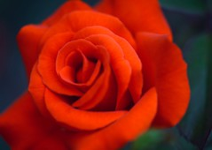 Scarlet Autumn (love_child_kyoto) Tags: red flower macro rose scarlet kyoto gardening     botanicalgarden      masterphotos  takenwithlove