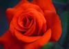Scarlet Autumn:血色玫瑰 (love_child_kyoto) Tags: red flower macro rose scarlet kyoto gardening professional 京都 花 秋 自然 botanicalgarden マクロ 薔薇 バラ ばら ネイチャー masterphotos 京都府立植物園 sexygroup takenwithlove マスター写真