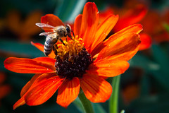 Busy (Bryan Nabong) Tags: flower macro insect bee themes 112for2012