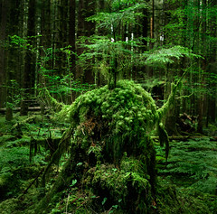 The old men of the forest, pt.5 (Zeb Andrews) Tags: trees green film forest square washington hoh rainforest olympicpeninsula hasselblad gremlin pacificnorthwest verdant lush olympicnationalpark mossy stumps sasquatch lifecycle hasselblad500c bluemooncamera
