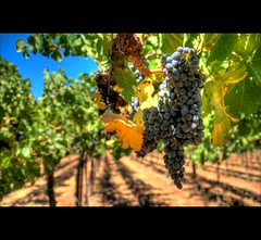 The vineyards of Sonoma Valley (stasb) Tags: california vineyard grapes sonomavalley