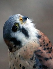 J77A7887 -- American Kestrel at Capilano, near Vancouver (Nils Axel Braathen -- Thanks a lot for +200K views) Tags: canada nature birds vancouver canon wildlife falcon capilano americankestrel kestrel fugler oiseaux sparrowhawk falcosparverius thegalaxy crcerelledamrique vogeln mygearandme mygearandmepremium mygearandmebronze ringexcellence blinkagain dblringexcellence bestofblinkwinners blinksuperstars allofnatureswildlifelevel1 rememberthatmomentlevel1 rememberthatmomentlevel2 vigilantphotographersunite vpu2 vpu3 vpu4 vpu5 vpu6 vpu7 vpu8 vpu9 vpu10