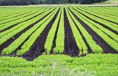 Field near St Helens (Lazenby43) Tags: farm nature farming sthelens green rows