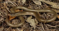 Delma butleri (Akash Samuel Melbourne) Tags: macro reptile australia victoria lizard samuel akash delma legless pygopod butlerii