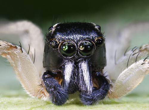 Jumping spider salticidae