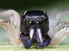 Jumping spider salticidae (Ignacio Javier Torres) Tags: jumping spider jumpingspider salticidae macrophotography macrofotografia macro focusstacking insect