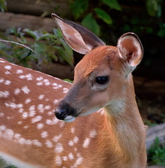 Fawn back for a visit. (lady_with_thread) Tags: whitetailfawn evening nature wildlife virginia nikond5300 70300vr