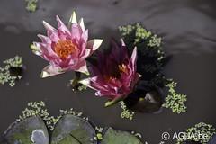 DSC_7899 (Waterlelie.be) Tags: 1993 dallas drrobertkirkstrawn marliacwortelstok noordamerika nymphaea nymphaearedspider texas verenigdestatenvanamerika