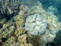 Convoluted corals at Michaelmas Cay (dracophylla) Tags: michaelmascay greatbarrierreef queensland australia