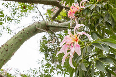 Ceiba Speciosa, or silk floss tree, a subtropical tree with bottle-shaped trunk covered in thorns, and beautiful pink and yellow flowers-24.jpg (PicciaNeri) Tags: ceibaspeciosa sunny nature city paineira red iberia spanish plant spain tree bee architecture pollen europe petals comunidadvalenciana subtropical pistil flower deciduous silkflosstree leaves valencia iberianpeninsula thorns pink southerneurope yellow prickles green mediterranean paloborracho tropical malvaceae