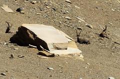 Stambecchi al colle Leynir (anto_gal) Tags: aosta valdaosta 2016 ceresole montagna animali stambecchi colle leynir nivolet granparadiso parco trekking escursione escursionismo pngp