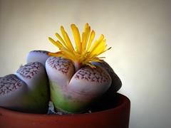 Le pietre viventi (fotomie2009) Tags: succulenta succulent flower fiore flora yellow lithops stoneplant living stone sassi viventi