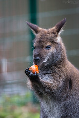 Eating a carrot (Cloudtail the Snow Leopard) Tags: knguru zoo karlsruhe tier animal mammal sugetier rotnacken bennett wallaby red necked roo eat essen karotte carrot