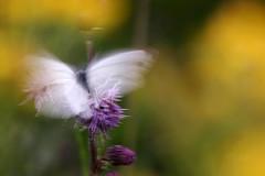 Cabbage White Butterfly, koolwitje (cees van gastel) Tags: ceesvangastel macro natuur nature butterfly vlinders tussenringen extensionrings canoneos550d tamron70300mm cabbagewhitebutterfly koolwitje