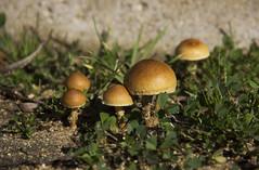 Little houses2 (Imthearsonist) Tags: mushrooms small closeup macro details miniature nature leaves hongos pequeos islanegra chile