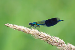 Snack Time.......... (klythawk) Tags: bandeddemoiselle calopteryxsplendens male dragonfly grass summer nature dof green blue brown black white olympus em1 omd 100400mm panasonic colwick park colwickpark nottingham klythawk