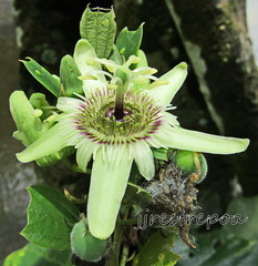 Passiflora lyra (jjrestrepoa (busy)) Tags: passifloralyra passifloraceae passionflower pasiflora passiflora flordelapasin decaloba antioquia colombia