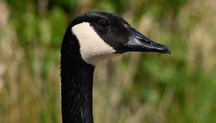 Canada Goose (careth@2012) Tags: goose canadagoose nature wildlife beak portrait closeup headshot waterfowl
