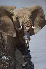 Crossing the River (Kitty Kono) Tags: elephant kenya subaru rivercrossing kittyrileykono