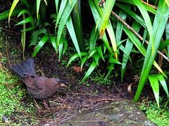 Hamilton Gardens Thrush (JayVeeAre (JvR)) Tags: 2016johannesvanrooy bird canonpowershotg10 hamiltongardens johannesvanrooy johnvanrooy gimp28 picasa3 httpwwwpanoramiocomuser1363680 httpwwwflickrcomphotosjayveeare johnvanrooygmailcom gimpuser gimpforphotography thrush