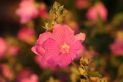 In the evening sun (peeteninge) Tags: flora flowers flower bloemen nature natuur roze pink outdoor garden tuin summer zomer