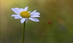 La bellezza non  perfetta (Soloross) Tags: margherita daisy flower nature fineart colors bokeh macro beauty perfection bellezza colori fiore natura