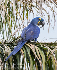 Hyacinth Macaw (Anodorhynchus Hyacinthinus) (KerryBluett) Tags: canon 100400ii 7dmkii macaw hyacinth birds brazil wildlife pantanal