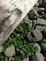 growing in the most unlikely places (carolyn_in_oregon) Tags: oregon pacificocean ecolastatepark coast crescentbeach