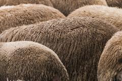 Sheepish (NetAgra) Tags: dairysheep sheep wool animal farm backs abstract curves shapes highlights