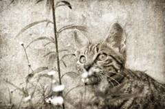 Curiosit juvnile (bruno2nis) Tags: animal animalfamilier animalia blackandwhite cat chat felid felidae francefra flids flin mammal mammalia mammifre mina monochrome noiretblanc pet ledefrance france fra