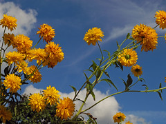 372 Summer feeling (Explore 17/09/2016) (Wuwus Bilder) Tags: blume pflanze sommer himmel gelb