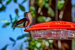 Hum dee Dum (brev99) Tags: hdrefexpro hummingbird hummer feeder birdfeeder oxleynaturecenter bokeh tree tamron180f35 d7100 nikviveza focus perfecteffects10 ononesoftware topazdenoise