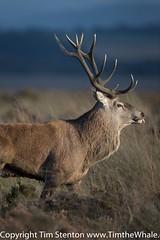 Red Deer (Cervus elaphus) 29 Sep-16-23122 (tim stenton www.TimtheWhale.com) Tags: cervuselaphus deer derbyshire england landmammal mammal peakdistrict peakdistrictnationalpark reddeer wild freeroaming