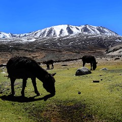 Pastoral - 5000 m - Himalayan Landscapes - SQ (Mathias Kellermann (as Titus1st)) Tags: light mountain snow black color green field rock montagne canon wonderful square landscape eos fantastic mark lumire iii donkey vert best 100views mineral 5d faves format neige himalaya paysage sq mule ladakh carr noire sommet ne formatcarr morethan100views mathiaskellermann plusde100vues