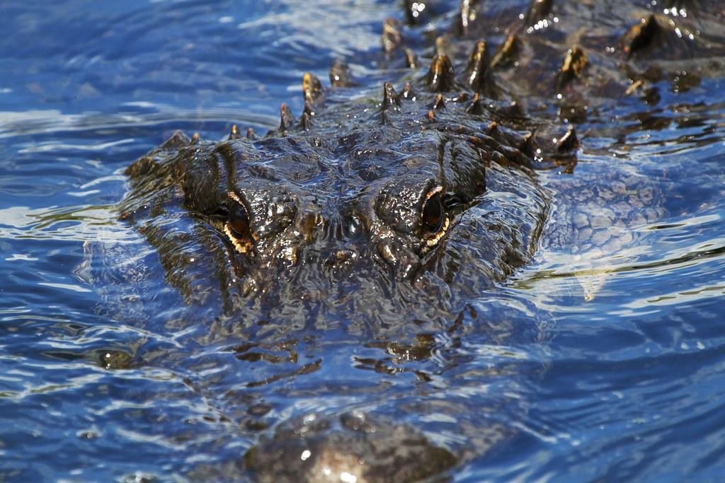 alligatormississippiensis