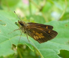 Broad-winged Skipper (Poanes viator) (Rezamink) Tags: usa butterflies broadwingedskipper poanesviator